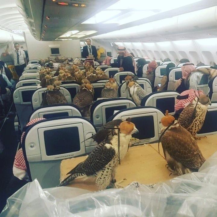 坐飛機的獵鷹(圖取自 REDDIT 網站lensoo 發文)