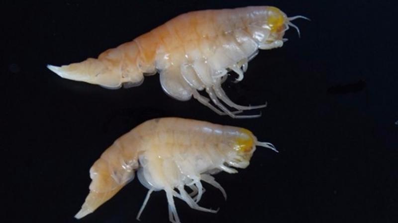 科學家在生長於馬里亞納海溝、外形像蝦的端足類生物體內檢測出高濃度的污染物。 (圖:AFP)