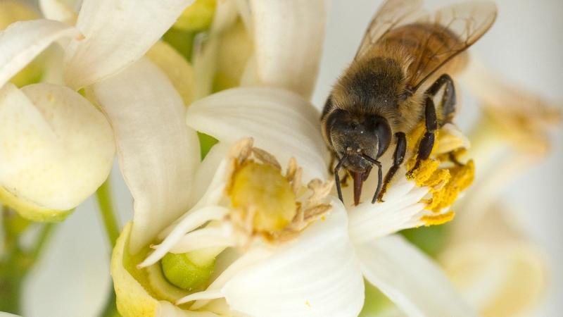 授粉是蜜蜂的重要功能(圖:AFP)
