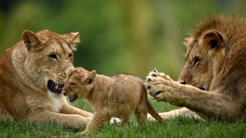 大部分獅子已在地球上消失。  (圖:AFP)