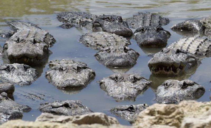 鱷魚擠在小水塘。  (圖:AFP)