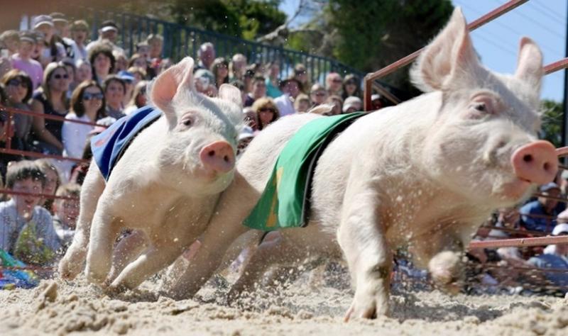 美國豬農飼養豬隻速度無法追上需求。  (圖:AFP)