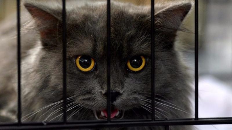 大陸有人突發奇想,準備推出「共享貓咪」  (圖:AFP)