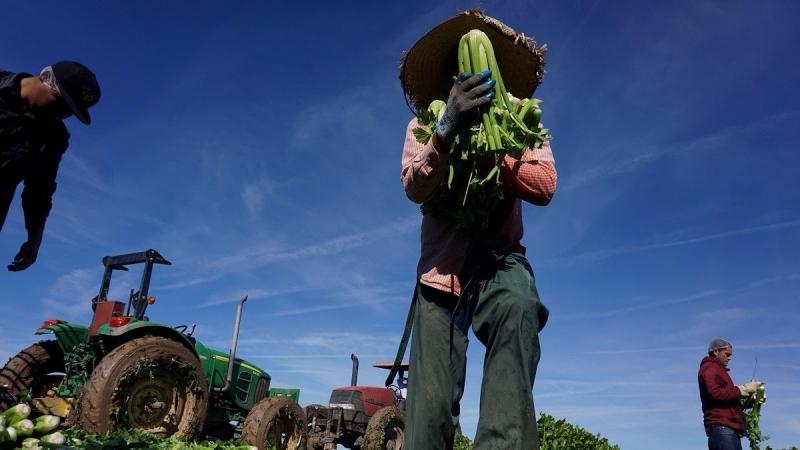 加州農場正鬧缺工荒。(圖:AFP)