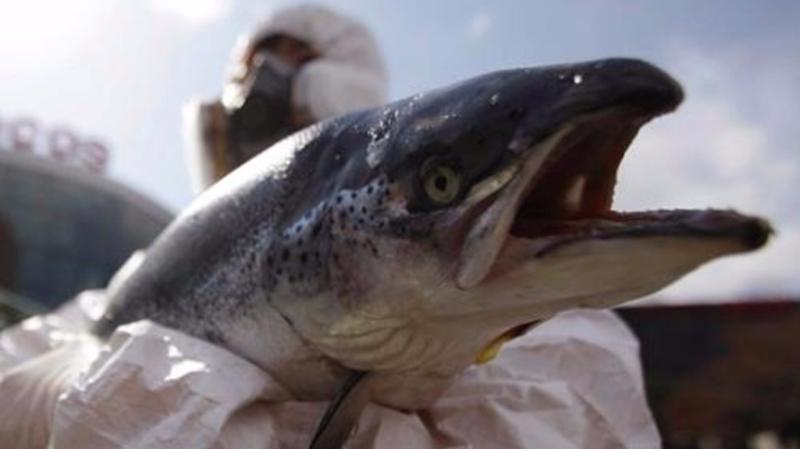 魚網破裂 31萬大西洋鮭魚逃入太平洋 美下令大小通殺