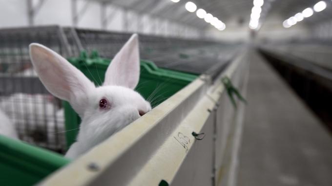 委內瑞拉總統建議人民吃兔肉,以解決饑荒問題。(AFP)