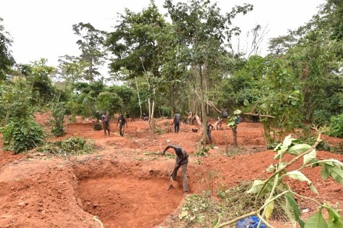 大量森林已被用來種植可可樹。 (圖:AFP)
