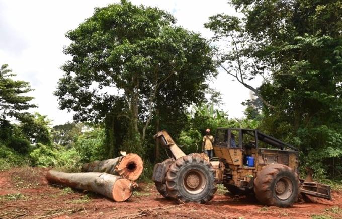 西非國家大量砍伐森森種植可可。 (圖:AFP)
