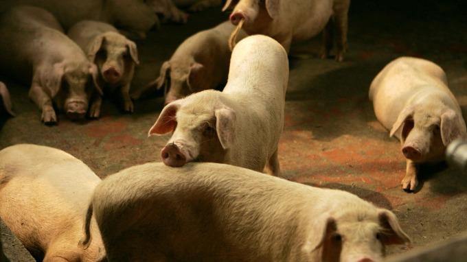 位於成都的養豬業(圖:AFP)