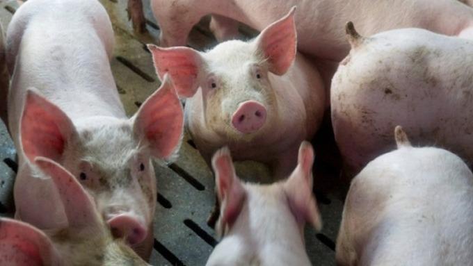 中國爆發非洲豬瘟疫情,衝擊A股豬肉概念股下跌。(圖:AFP)