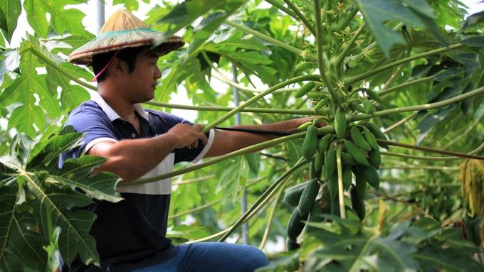 華南產險日前宣布獲准銷售首張木瓜保險。(鉅亨網資料照)