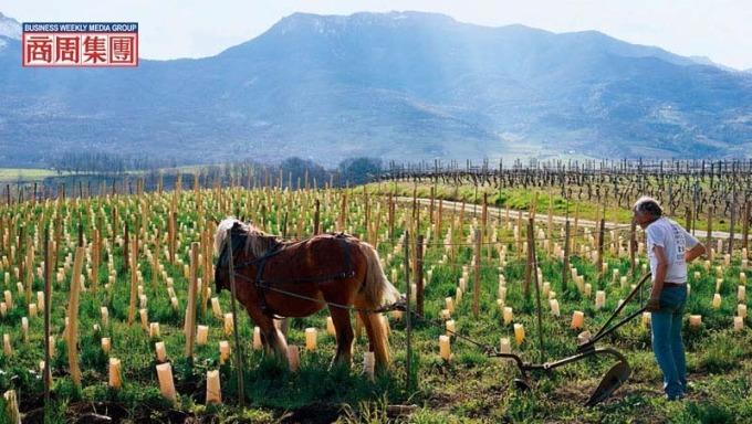 天然酿酒,自然派的葡萄园多采用有机或自然动力农法,马耕是此农法的实践之一。(摄影者.林裕森)