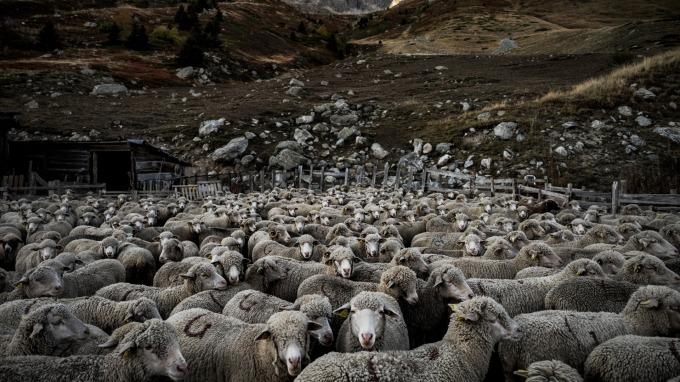 全球羊肉價格飆漲逼近歷史新高。(圖:AFP)