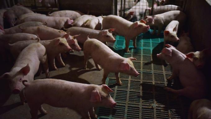 京東也要「智慧養豬」。(圖:AFP)