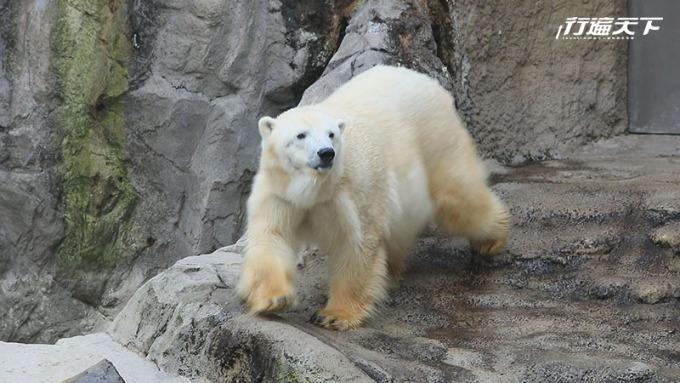 旭山動物園看北極熊在雪地裡打滾。