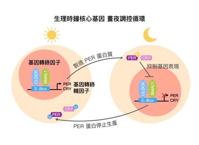 生理時鐘核心基因,晝夜調控循環示意圖 (core circadian feedback loop) 。 圖片來源│黃雯華 圖說重製│林承勳、張語辰