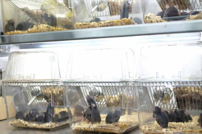 實驗室裡正接受光照、調控生理時鐘為白天的小鼠們。 攝影│林婷嫻