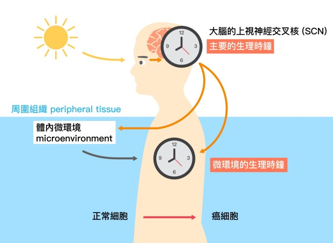 光照影響大腦的主要生理時鐘,而大腦的生理時鐘又會與體內微環境的生理時鐘交互影響。 圖片來源│黃雯華 圖說重製│林承勳、張語辰