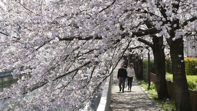 櫻花盛開的日本四月 (圖:AFP)
