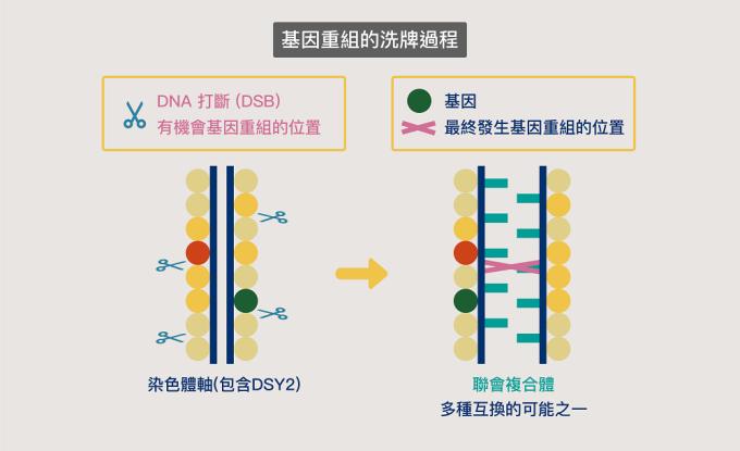 染色體上的 DNA 會發生多處打斷 (DSB) ,但最終能互換的 DNA 片段只有一部分。資料來源│王中茹提供   圖說改編│林婷嫻、張語辰