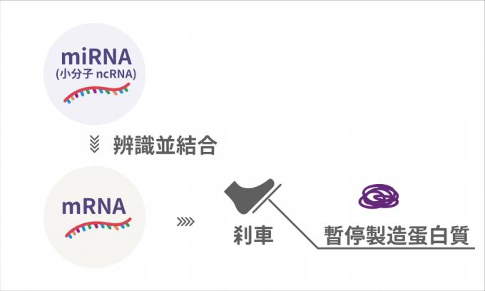 mRNA 產生太多或太少蛋白質都不好,但又不能把產生的開關關掉。microRNA 就像煞車,讓 mRNA 適時停下來,是自然界找到的調控方式。 圖說設計│林婷嫻、張語辰