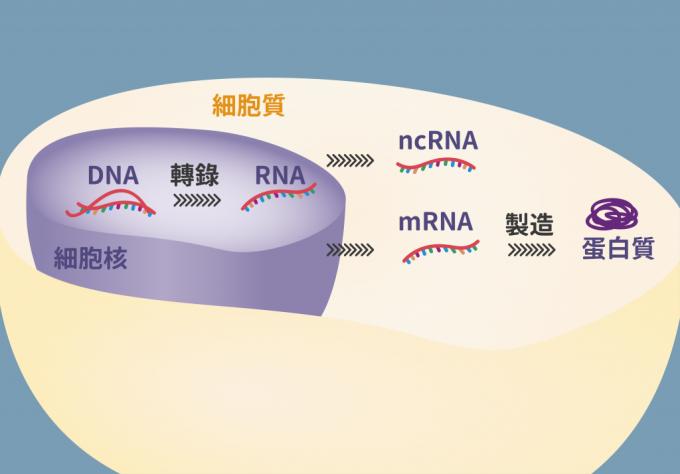 細胞內 DNA、RNA、蛋白質的機制。 圖說設計│林婷嫻、張語辰