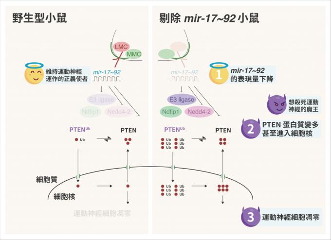 野生型小鼠 (左) 由於有 mir-17~92 抑制 PTEN 蛋白質,維持運動神經細胞正常運作。但剔除 mir-17~92 的小鼠,PTEN 蛋白質變多,甚至進入運動神經細胞裡、造成細胞凋零。 資料來源│Mir-17~92 Governs Motor Neuron Subtype Survival by Mediating Nuclear PTEN. 圖說重製│林婷嫻、張語辰