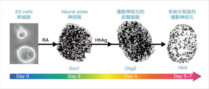 小鼠胚胎幹細胞 (ES cell) 在培養皿中,會根據外在訊號的濃度高低、生長因子的引導,演繹出不同的運動神經元前驅細胞,並進一步分化成不同的亞型 (subtype) 。 資料來源│陳俊安提供   圖說重製│林婷嫻、張語辰