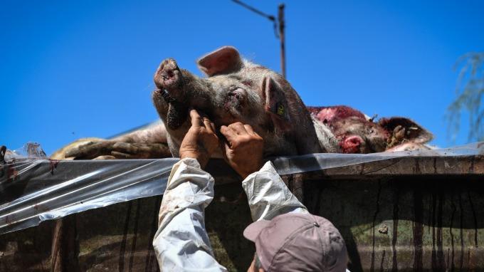 非洲豬瘟肆虐,導致中國豬肉價格大漲。(圖:AFP)