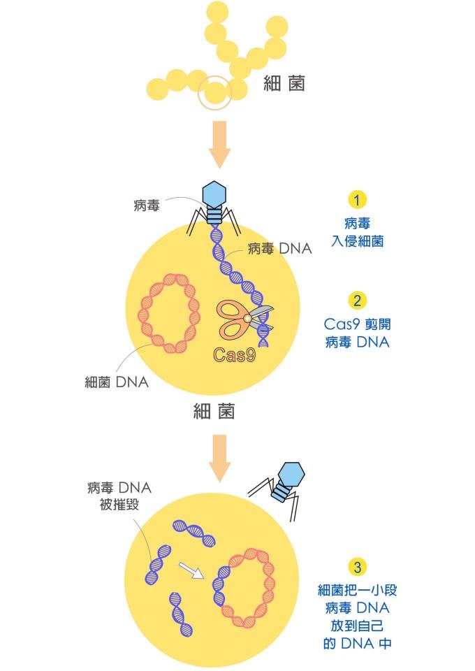 細菌遇到病毒入侵,細菌的 Cas9 會剪下病毒的一段 DNA,插在自己的基因組上,就好像為病毒建立「罪犯資料庫」。 圖說設計│黃曉君、林洵安 資料來源│凌嘉鴻