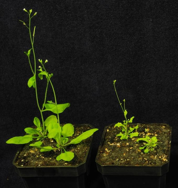 阿拉伯芥的野生株 (左) 以及 TIC236 基因表現量減少的突變株 (右),突變株有發育不良或葉子缺刻等狀況,表示若缺少 TIC236 這座橋,葉綠體無法正常運作。 圖片來源│李秀敏