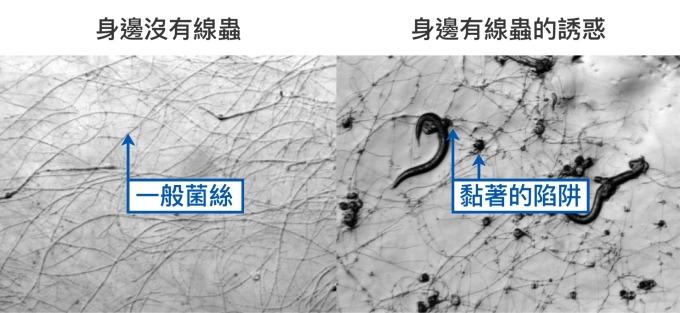 即使環境中氮養分不足,線蟲捕捉菌 A.oligospora 還是只有一般菌絲 (左圖) 。但若偵測到身邊有好吃的線蟲,就會趕快長出黏著的陷阱 (右圖)。 資料來源│Vidal-Diez de Ulzurrun G, Hsueh YP (2018) Predator-prey interactions of nematode-trapping fungi and nematodes: both sides of the coin. Appl Microbiol Biotechnol, 102: 3939. 圖片重製│林婷嫻、張語辰