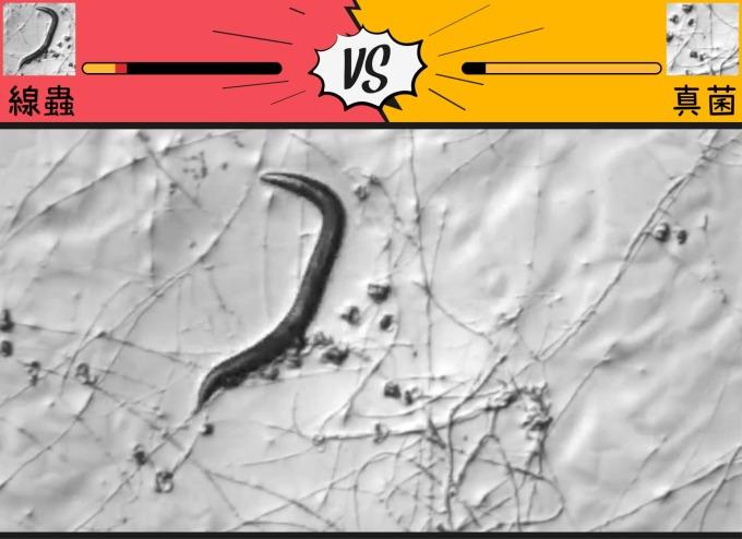 「演化軍備競賽」可以想像成是獵物和獵食者,在你來我往的攻防戰中,各自改變基因和性狀,提升自己存活下來的機會。只是,「回合」是以「世世代代」來計算。 截圖取自│薛雁冰實驗室影片 圖說設計│林婷嫻、張語辰