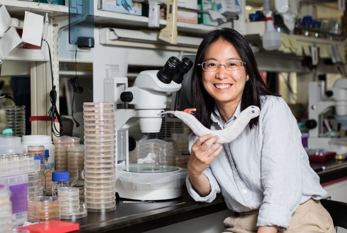 中研院分子生物研究所的薛雁冰助研究員,手上拿著線蟲娃娃,身旁一盒盒培養皿住著線蟲捕捉菌(真菌)。 攝影│張語辰