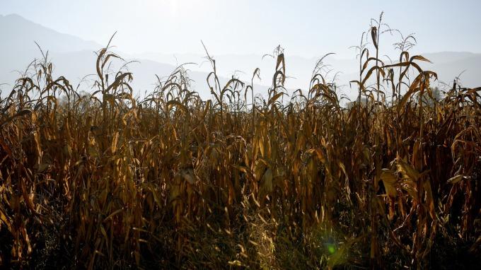 玉米、小麥等農作期貨價格提升 卻未推動農民加速生產 (圖:AFP)