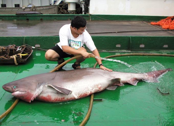 李柏鋒在研究船上清理捕獲的鯊魚。 圖片來源│李柏鋒提供