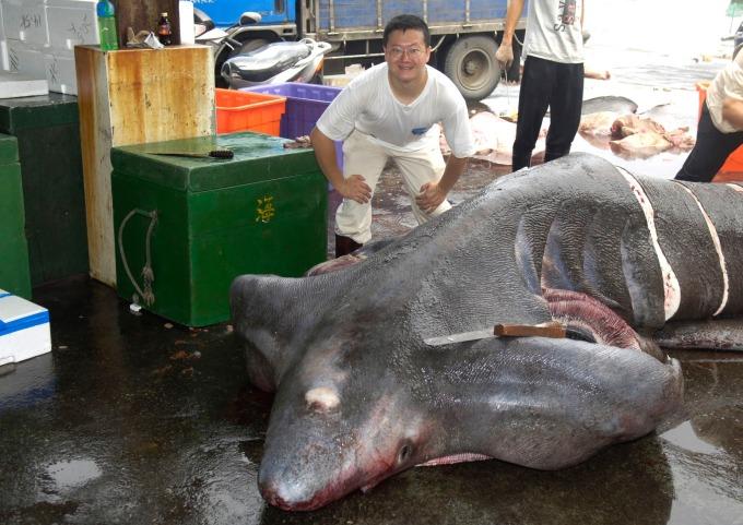 漁民捕獲稀罕的象鮫,李柏鋒正在漁港進行採樣工作。象鮫是世界第二大魚類,體長可達 6 公尺以上,游動緩慢、攻擊性低。近年因為魚翅、鯊魚肝等需求大增,已面臨滅絕威脅。 圖片來源│李柏鋒提供