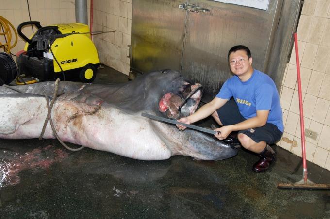 李柏鋒正在製作台灣第一隻巨口鯊標本。巨口鯊相當罕見,1976 年首度被人類發現,目前全世界收藏的標本還不到 20 尾。 圖片來源│李柏鋒提供