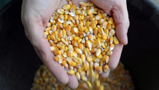 美國玉米太貴,中國買家興趣缺缺缺。(圖片:AFP)