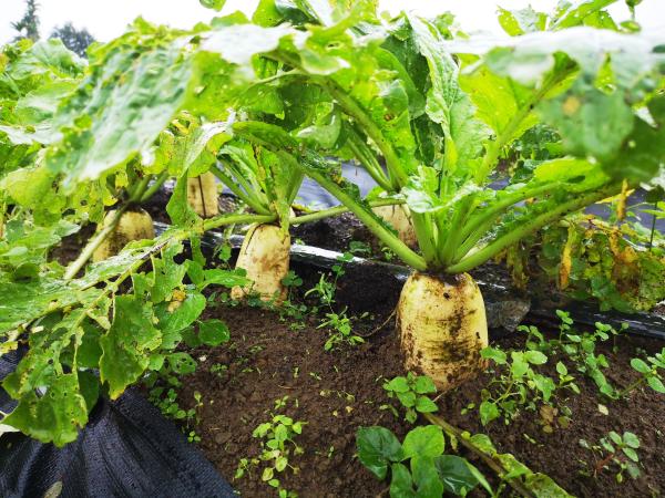 沼渣有機質肥料已對 20 種以上作物的基肥或追肥田間驗證,與市售商品肥料相比,不僅產量增加,作物生長發育也不錯。圖為添加沼渣有機質肥料所種植的白蘿蔔,產量多又肥大。