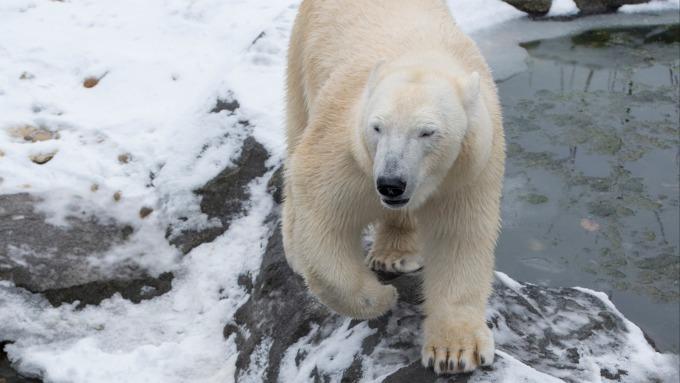川普海岸鑽油計畫受挫!國會通過2項法案禁止 呼籲保護北極熊的家 (圖片: AFP)