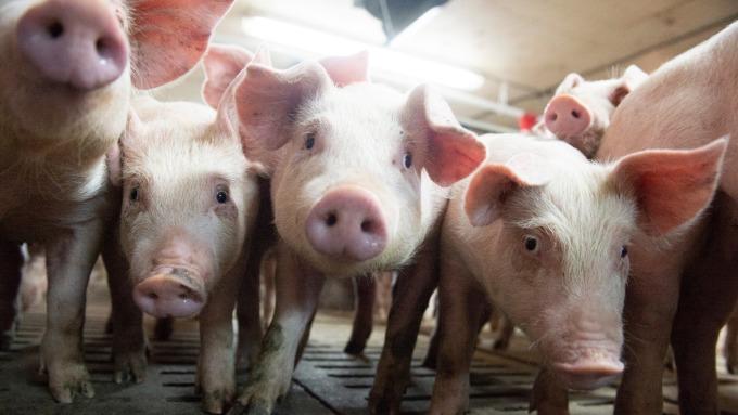 南韓爆首起非洲豬瘟疫情!下令全國48小時封鎖牲畜運輸 (圖片:AFP)
