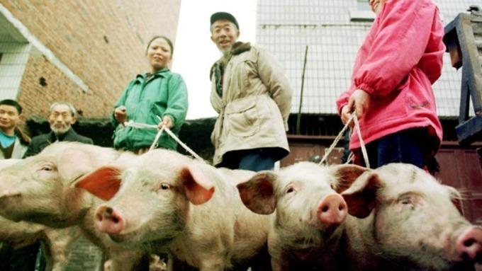 南韓淪陷爆非洲豬瘟,今13時起攜豬肉入境重罰20萬元。(圖片:AFP)