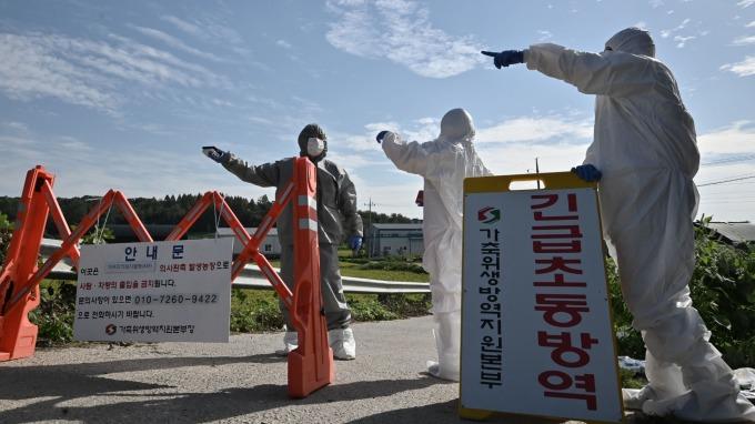 南韓爆發非洲豬瘟後 估計價值8兆韓元豬肉產業受重創 (圖片:AFP)