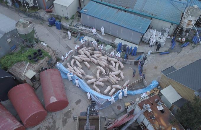 南韓爆發非洲豬瘟、價值 8 兆韓元豬肉產業恐受重創!(圖片:AFP)