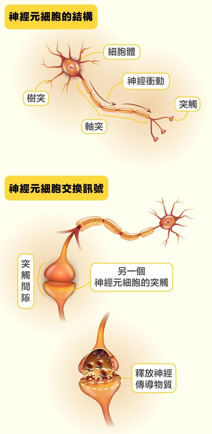 第一個神經元細胞將神經衝動傳到軸突末端的突觸,然後釋放神經傳導物質到下一個神經元細胞的樹突突觸,藉此將神經衝動傳給下一個神經元…… 就這樣把訊息接力傳到目的地。神經元軸突長度相差很大,有的僅分布在細胞周圍;有的很長,像是成人的坐骨神經,長度能超過 1.5 公尺。         圖片來源│iStock 圖說設計│黃曉君、林洵安