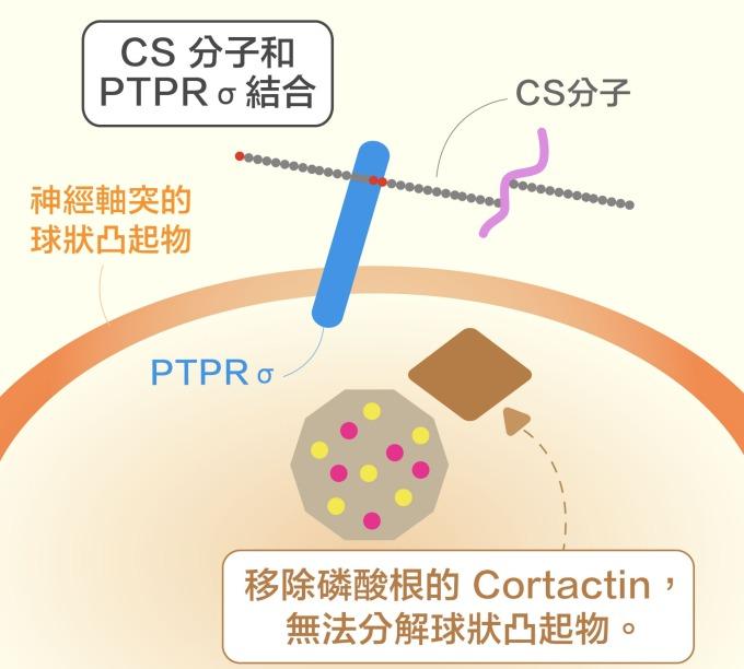 第一個新發現: CS 分子結合受器 PTPRσ,會移除 Cortactin 的磷酸根,阻礙神經元軸突再生。 資料來源|洪上程 圖說重製|黃曉君、林洵安