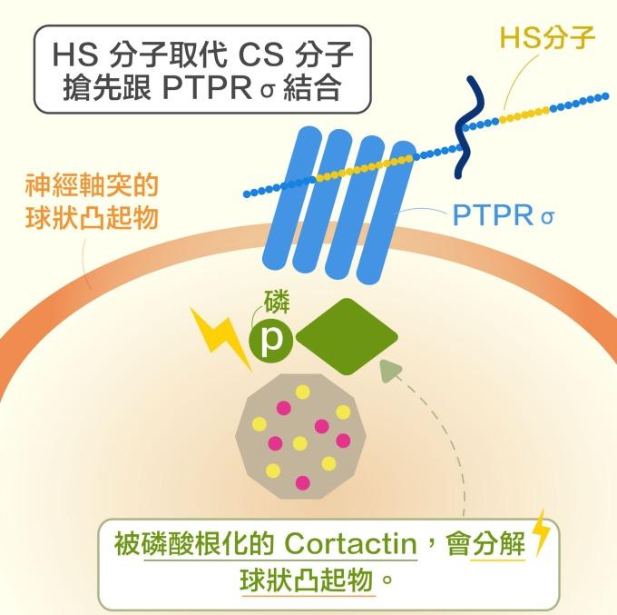 第二個新發現:HS 分子取代 CS 分子,搶先與 PTPRσ 結合, 讓 Cortactin 又可被磷酸根化, 使神經軸突順利再生。   資料來源|洪上程 圖說重製|黃曉君、林洵安