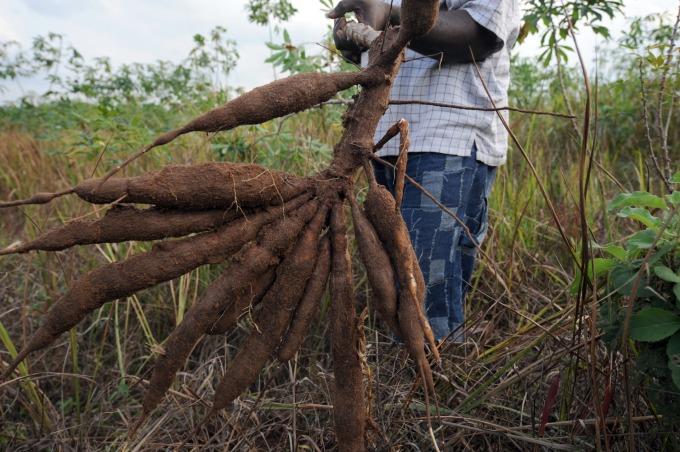 非洲奈及利亞的樹薯 (圖片:AFP)