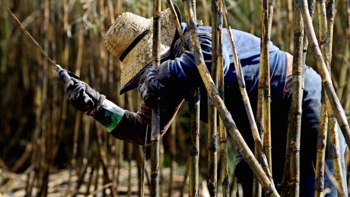 印巴糖產兩樣情,供應充裕拖糖價。(圖/AFP)